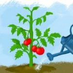 Полив помидор в теплице