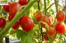 Скороспелые помидоры в теплице