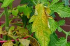 Почему желтеют помидоры в теплице